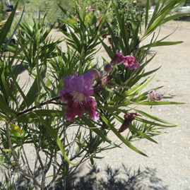 Image Result For California Native Plant Nurserya